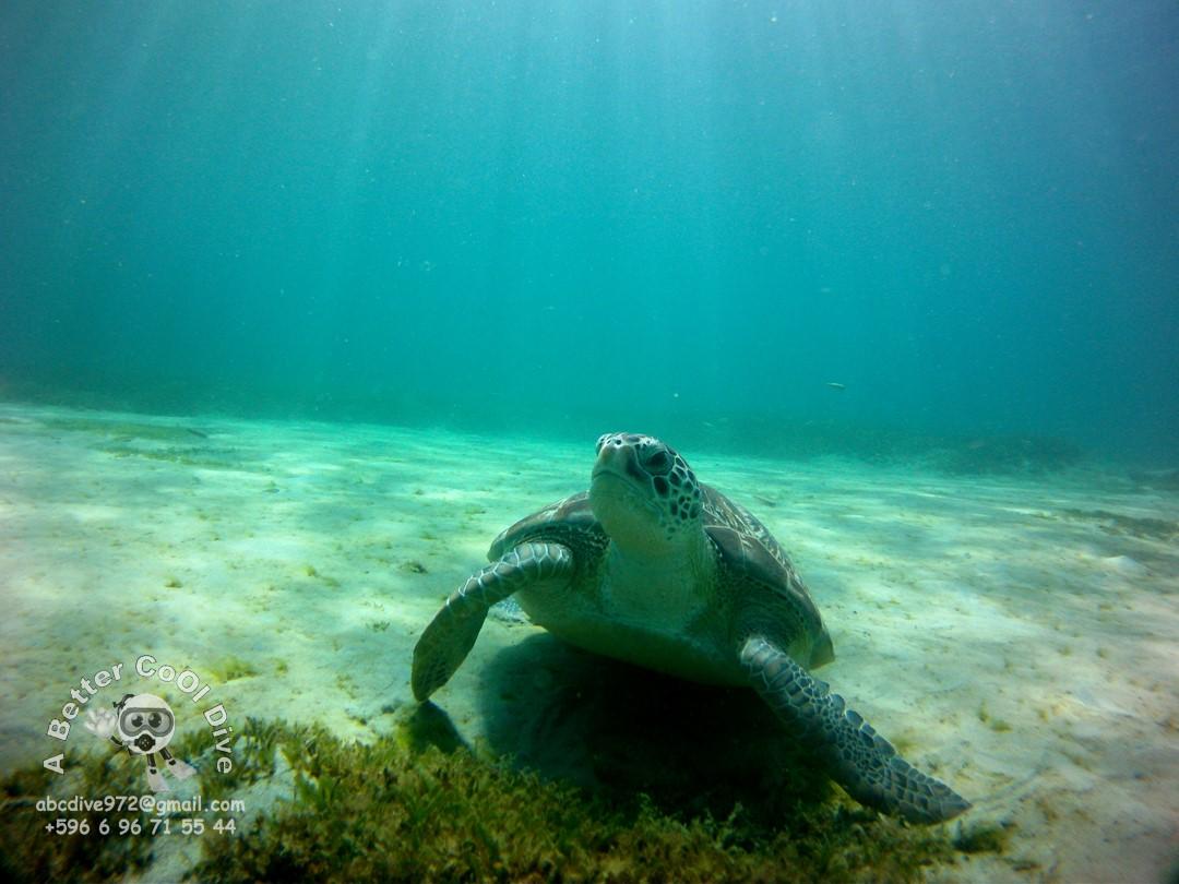 Comment deux plongeurs de Sainte-Maxime ont sauvé Roberta, une tortue caouanne menacée - Var-Matin