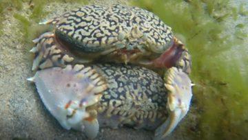 Crabes Boîtes cavaleurs puis ensablés